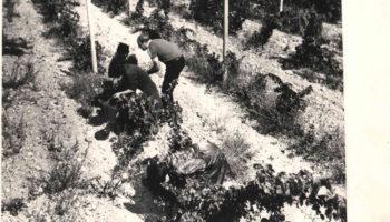 Виноградники Ерасхского винзавода