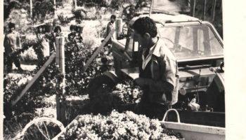 Сбор винограда в Араратской долине